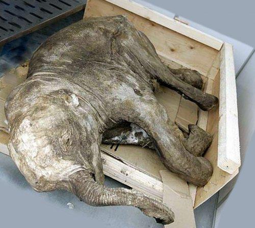 Впервые найден и извлечен мозг мамонта!