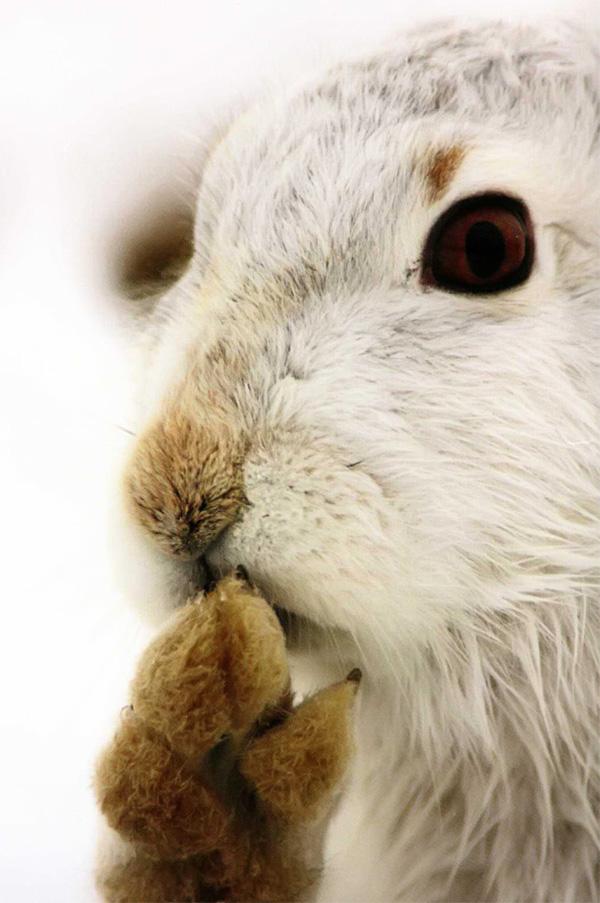 Зрение и обоняние у зайцев развиты слабо, а вот слух очень хороший.