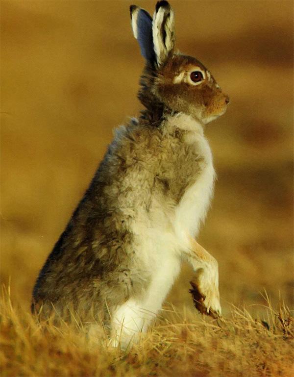 Длина норы, которую способен вырыть заяц, может достигать 8 м.