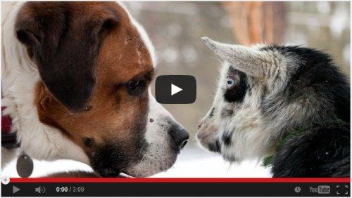 Козы против Собак