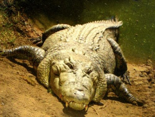 Крокодилы очень чувствительные