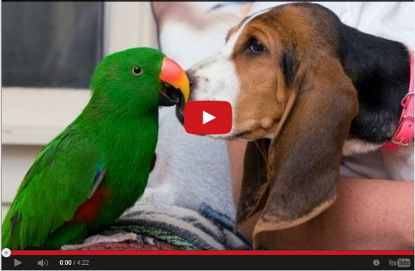 Попугаи раздражают собак. Подборка видео.