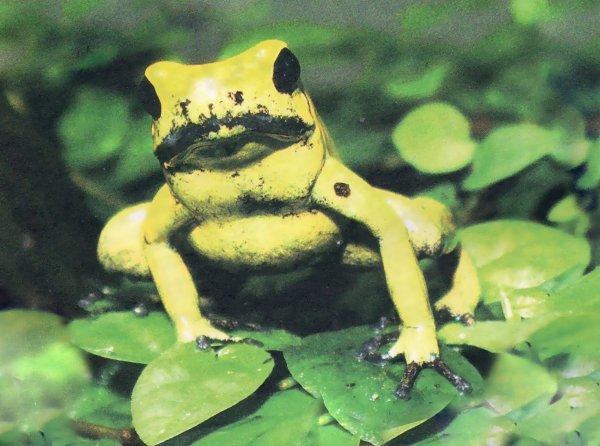 Беззлобные убийцы. Вся правда о желтых лягушках.